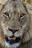 Portrait of a male lion in Sabi Sands Game Reserve in the Greater Kruger Region in South Africa