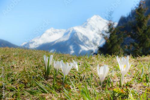 Krokus im Frühjahr mit schneebedecktem Berg im Hintergrund © by paul