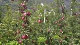 Apfelplantage mit reifen Äpfeln im Passeiertal in Südtirol in Italien