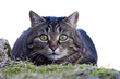 canvas print picture - Eine kleine niedliche Katze kurz vor dem Angriff