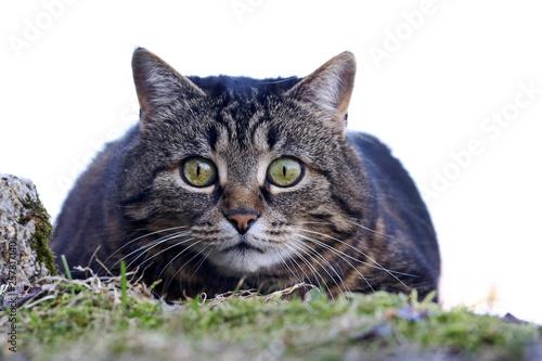 canvas print picture Eine kleine niedliche Katze kurz vor dem Angriff