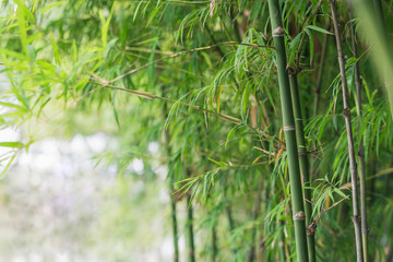 bamboo tree background © Ammak