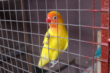 yellow love bird in the cage. close up view