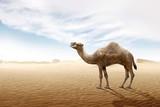 Fototapeta Fototapety z naturą - Camel standing on the sand dune © Leo Lintang