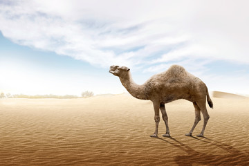 Camel standing on the sand dune