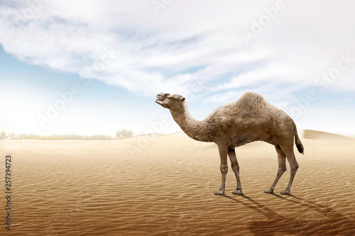 Camel standing on the sand dune © Leo Lintang