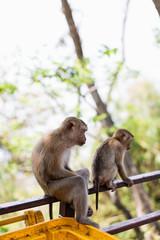 monkey hill Thailand © kalinichenkod