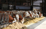 row of Simmental cows eating