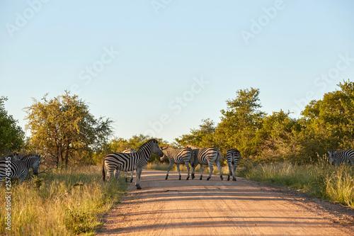 zebras - 257415535