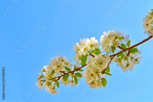 Blossoming branch apple. - 257429923
