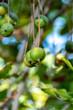 Quadro Ripe macadamia nuts handing on macadamia tree ready for harvest