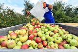 harvesting fresh apples on a plantation - workers, fruit trees and boxes of apples