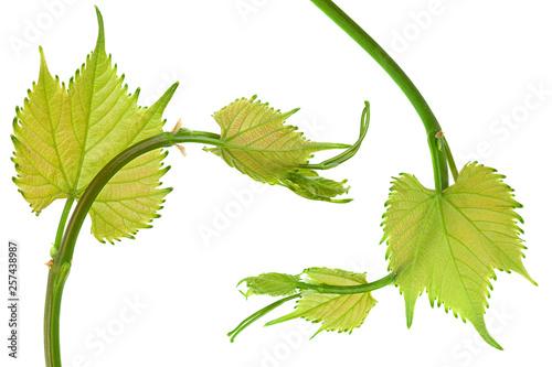 Grape fresh leaf closeup © Leonid Nyshko