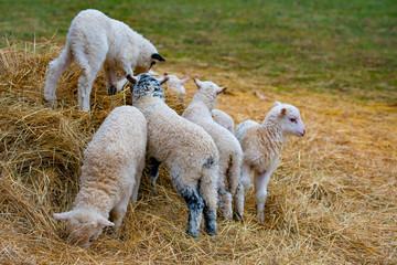 cute lambs close up