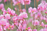Pink Rhododendron Flowers Background