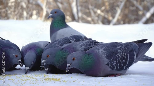 Pigeons eating grain in snow. Media. Close-up of pigeons coming to eat scattered millet grains in snow in park