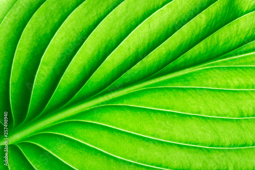 Texture of a green leaf as background - 257498940