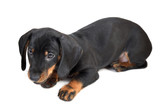 Lying two-month smooth black and tan dachshund puppy on white background