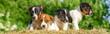 Leinwandbild Motiv Jack-Russel Welpen sitzen neugierig auf einen Bund Stroh