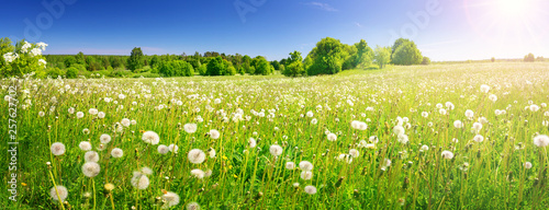 Field with dandelions and blue sky - 257627702