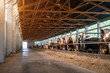 Leinwanddruck Bild - Picture of cow farm. Cows standing in row in barn.