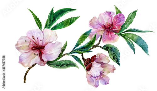 Beautiful peach tree flower on a twig. Spring flourish illustration. Isolated on white background. Watercolor painting. Hand drawn. © katiko2016