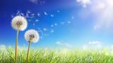 Fototapeta Fototapeta z dmuchawcami - Dandelions With Wind In Field - Seeds Blowing Away Blue Sky © Romolo Tavani