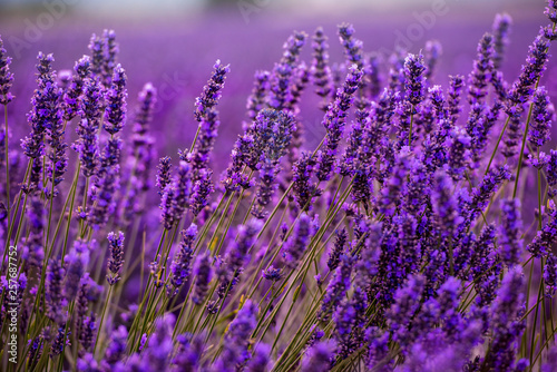 Leinwanddruck Bild Close up Bushes of lavender purple aromatic flowers