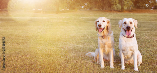 fototapeta na ścianę WEBSIDE BANNER TWO HAPPY DOGS LABRADOR AND GOLDEN RETRIEVER SITTING IN THE GRASS ON SUMMER HEAT.