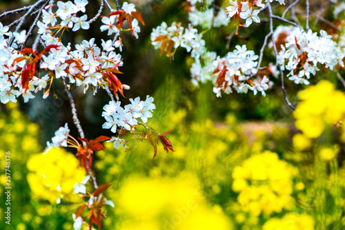 canvas print picture 魚見桜