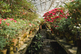 Colorful azalea flowers blooming in a glass greenhouse