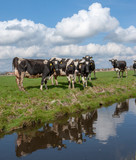 Cows Netherlands. Friesland countrylife