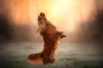 cavalier king charles spaniel dog doing tricks beautiful dawn magical light portrait