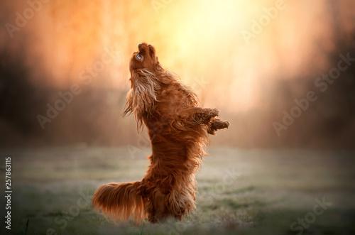 fototapeta na ścianę cavalier king charles spaniel dog doing tricks beautiful dawn magical light portrait