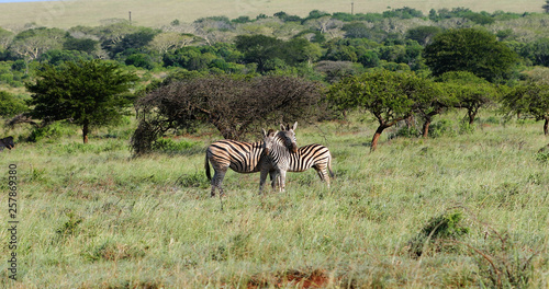 zebras in the savannah in south africa