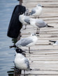 Quadro Andes gull in a dock in Copacabana, lake Titicaca