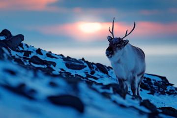Winter landscape with reindeer. Wild Reindeer, Rangifer tarandus, with massive antlers in snow, Svalbard, Norway. Svalbard deer on rocky mountain. Wildlife scene from nature.