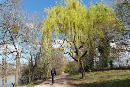 weeping willow on Seine river bank in Bougival city © hassan bensliman