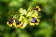 Wild orchid flower, ophrys lutea, Izmir / Turkey