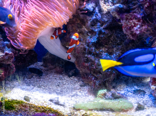 fototapeta na ścianę dory, blue tang, aquarium, blue, red, orange, yellow, black, pink