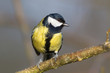 Great tit (Parus major) in the nature reserve Moenchbruch near Frankfurt, Germany.