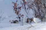 All white Lagopus in the toundra landscape of Northern Yukon