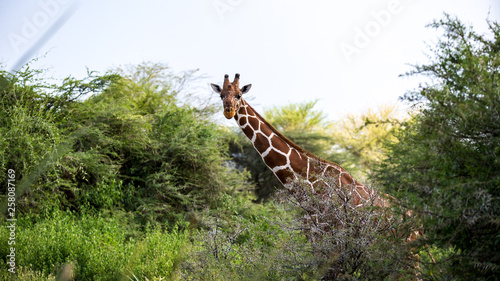 A giraffe stands between the acacia trees © 25ehaag6