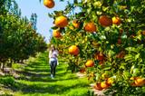 Mandarynki sad drzewo mandarynkowe owoce rosnące na  drzewie