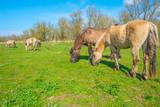 Fototapeta Fototapety z końmi - Horses in a field below a blue sky in a natural park in spring © Naj
