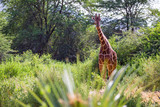Fototapeta Sawanna - A giraffe stands between the acacia trees © 25ehaag6