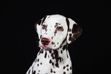 Dalmatian sitting, looking aside, isolated on black