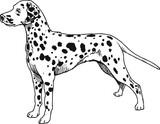 dog Dalmatian black and white drawing