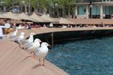 Seagulls in Sydney (Australia)