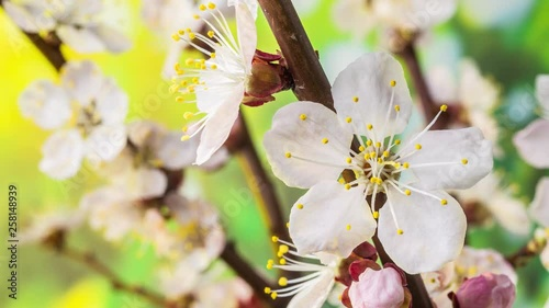 Apricot flowers blossoming in the nature background. Time Lapse video. © volff